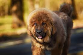 The Beautiful Tibetan Mastiff Important Facts And