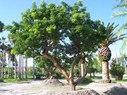 gumbo limbo tree florida - Google Search