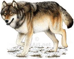 gray wolf drawing colored. Exellent Colored 800x638 Timber Wolf Stock Art Illustration Inside Gray Drawing Colored