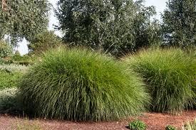 Tall Decorative Grass Maiden Grass Monrovia Maiden Grass