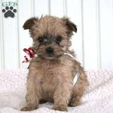 shorkie poo puppies for