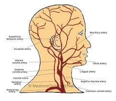 arteries of the face external carotid artery medicine dictionary