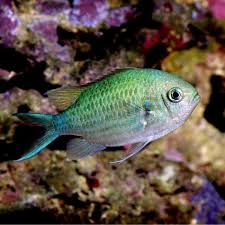 Blue Green Reef Chromis Chromis Viridis