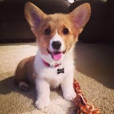 cutest corgi puppy. Simple Puppy U0027Grams Taken Later Show That She Got Unstuck With Cutest Corgi Puppy P