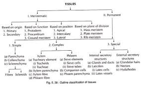 essay on the classification of meristems plant tissues botany outline classification of tissues
