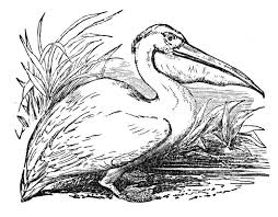 Small Picture Free Pelican Coloring Pages