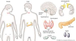 Comparative Functions Of Nervous And Endocrine Systems Chart Human Endocrine System Description Function Glands