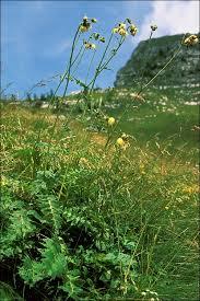 Cirsium erisithales - CalPhotos