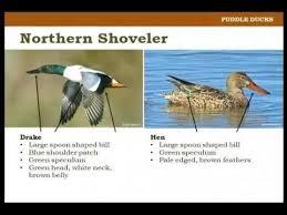 Identifying Waterfowl On The Wing Pat Kehoe