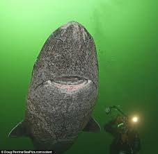 greenland shark fearsome creature eats polar bears and smiles for caught on camera greenland sharks prefer colder waters and can dive to depths of 600