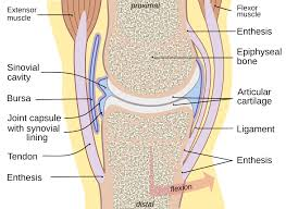 Classification Of Covering And Lining Membranes Complete The Following Chart Synovial Membrane Wikipedia