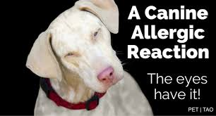 Here's How To Treat Dog Eye Allergies