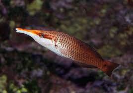 Gomphosus varius. gutusi`o, gutu`umi, sugale-lupe. bird wrasse - fishes of  National Park of American Samoa