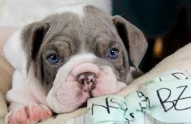 miniature english bulldog puppy. Contemporary Miniature Miniature English Bulldog Puppies For Sale On Puppy T