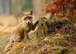 Fotos vom Fuchs zum Verlieben - 27 wundervolle Bilder