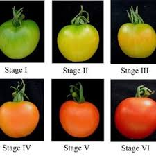 Tomato Color Chart Ripening Stages Of Tomato Download Scientific Diagram