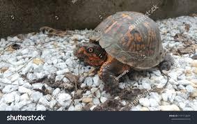 Eastern Box Turtle Orange Scales Shell Stock Photo Edit Now