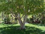 laurel-tree