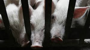 Омская группа Синергия взыскивает со свинокомплекса Пермский  Омская группа Синергия взыскивает со свинокомплекса Пермский более 600 млн рублей