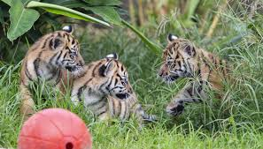 one of the female cubs is called mawar which means rose in indonesian and the other is named tengah malam midnight their brother s name is pemanah