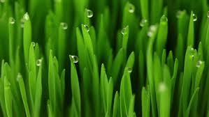grass blade close up. Juicy Fresh Green Grass. Close-up. Drops Of Dew On The Blades Grass Blade Close Up E