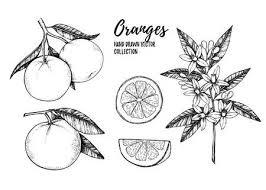 手書きのベクトル イラスト イエロー レモンのコレクション葉花の