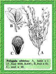Polygalaceae in Flora of Pakistan @ efloras.org