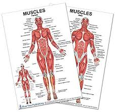 2 Poster Set Muscles Female And Male Poster Set 24x36inch For Physical Fitness Working Out Muscular System Anatomical Chart