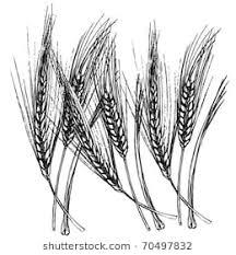wheat drawing.  Drawing Wheat Drawing With Wheat Drawing Shutterstock