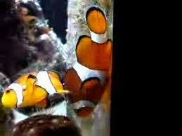 Clownfish Fish Guides For Clown Fish Species Anemonefishes