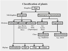 Draw The Flow Chart Of Plant Kingdom Best Picture Of Chart