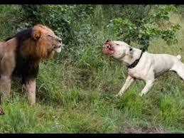 pitbull dog vs lion. Modren Pitbull Real Fight Lion Vs Pitbull  Dog Boars Monkey Intended Vs L