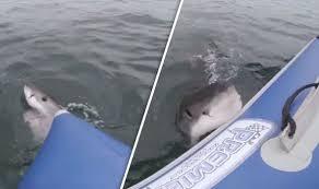 great white shark attacks boat.  Shark Shark Attacks Boat And Great White Attacks Boat I