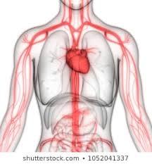 Cardiac Anatomy Chart Cardiovascular System Photos 16 045 Cardiovascular Stock