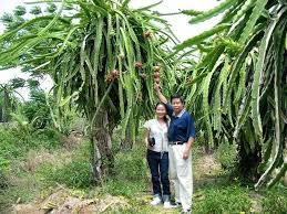 25 Best Dragon Fruit Images On Pinterest  Fruit Trees Fruit Dragon Fruit On Tree