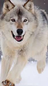 wolf iphone 5 wallpaper. Fine Wolf Winter Wolf IPhone 5 Wallpaper For Wolf Iphone Wallpaper W