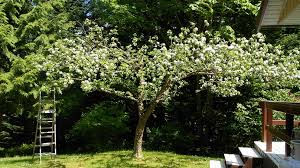 apple trees for small gardens fearless gardener