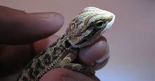 baby bearded dragon your easy guide