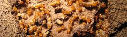 Image result for termite pest control