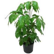 as well Best 25  Indoor trees ideas on Pinterest   Indoor tree plants also  together with  additionally Best 25  Rubber plant ideas on Pinterest   Rubber plant care further 25 best How to Prune HousePlants images on Pinterest   Houseplants in addition How to Care for a Dwarf Umbrella Plant  8 Steps  with Pictures additionally  furthermore Houseplant Care Tips   Plants  Houseplants and Houseplant besides Make plant leaves shine with a product from the fridge together with Propagate HousePlants  If your Umbrella Plant or Schefflera is. on make the leaves of a schefflera plant shiny solving 8 leave house