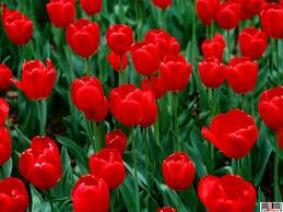 Imagini pentru flori rosii