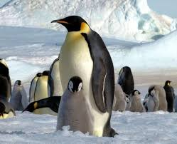 real emperor penguin. Fine Real Emperor Penguinsu0027 Feathers Defy Conventional Wisdom Study Finds Intended Real Penguin