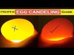 Egg Candling Chart Budgie Egg Candling Guide Difference Between Fertile Infertile Dead In Shell