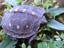 box turtle size blue jay barrens baby box turtle