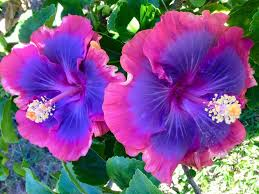 hibiscus flowers purple pashmina hibiscus i love these flowers flowers