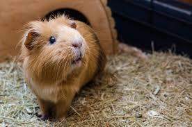 guinea pig husbandry and preventative