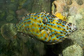 scrawled filefish.  Scrawled Source Brian Gratwicke  CC BY 20 Inside Scrawled Filefish L