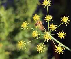 fennel pollen \u2014 thread \u0026 whisk