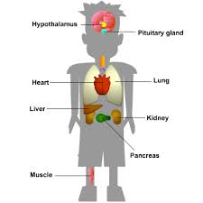 What Is Homeostasis In Biology Gcse Biology The Organs Involved In Homeostasis
