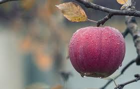 apple food. apple, fall, juicy, food, autumn, fruit, red, fresh apple food s